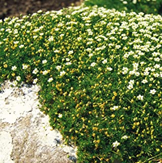 Outsidepride Irish Moss Ground Cover Plant Seed - 10000 Seeds