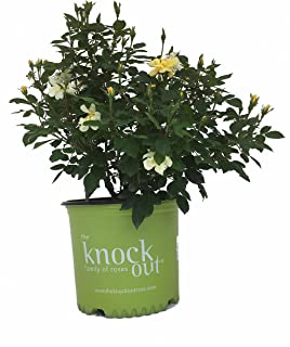 Rose Sunny Knockout in 2 Gallon pot (Yelllow)