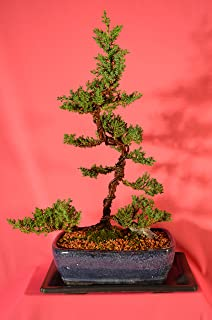 Traditional Bonsai, Japanese Juniper,Upright style, 12 years old, Upright style, free watering tray