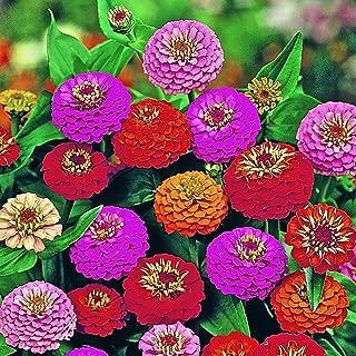 100 Seeds Lilliput Zinnia Mix