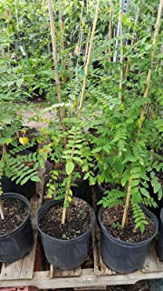 9EzTropical - Star Fruit Tree - Grafted Tree - 3 to 4 Feet Tall - Ship in 3 Gal Pot
