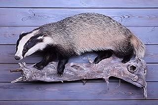 Taxidermy Badger Shoulder Stuffed New Fur Hunting Mammals Handmade