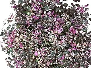 Jazz Hands Variegated Loropetalum - Live Plant - 3 Gallon Pot