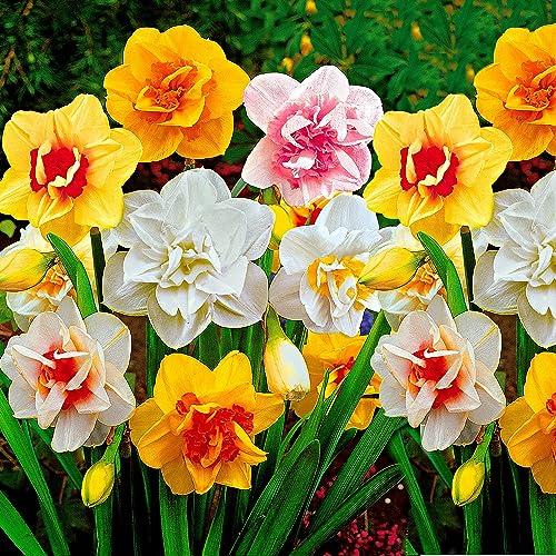 25x Narcissus | Bulbes de Narcisse à fleurs doubles | Mix de couleurs | Bulbes à floraison précoce | Plantes fleuries...