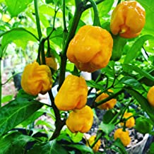 Fresh Super Hot Peppers - Mixed Box: All Yellow Colored Peppers