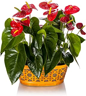 Happy Hearts Anthurium Garden 15-Inch To 18-Inch Tall In Yellow Tin Container, From Hallmark Flowers