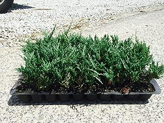 Juniper Bar Harbor Qty 60 Live Plants Evergreen Ground Cover