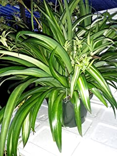Ocean Spider Plant - Easy to Grow - Cleans the Air - NEW - 8