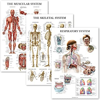 3 Pack - Muscle + Skeleton + Respiratory System Anatomy Poster Set - Muscular and Skeletal System Anatomical Charts - Lami...