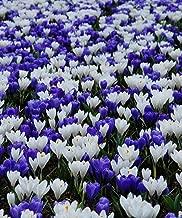 500 Bulbs Crocus Blue & White Mix