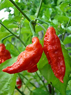 1000 Red Bhut Jolokia Ghost Pepper Hot Chili seeds World Record Hottest Wholesale non-GMO Bulk