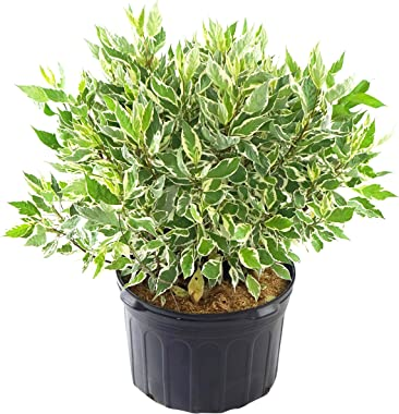 Cornus alba 'Ivory Halo' (Varigated Dogwood) Shrub, white flowers with varigated foliage, #3 - Size Container
