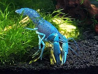Aquatic Arts 1 B-Grade Electric Blue Crayfish | Live Freshwater Aquarium Lobster/Crawfish/Crawdad/Real Living Fish Tank Pet