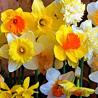 Narcissus Classic Trumpet Daffodil Mix - 10 very large bulbs (14/16 cm) | Ships from Easy to Grow TM