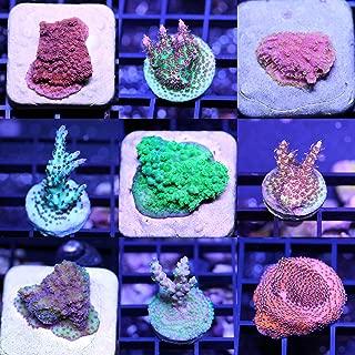 SPS 6 Frag Pack Live Coral Aquarium Reef Empire Acropora Montipora