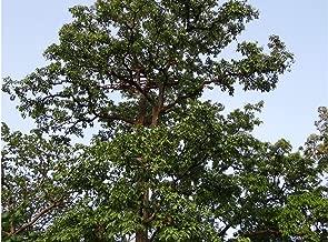 Arjun Tree Terminalia arjuna 3 Giant Seeds Koha Super Rare for Tropical Growers Long Hanging White Flowers Bonsai or Tropical Specimen