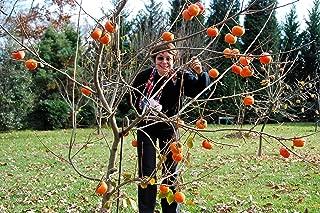 1 Fuyu persimmon tree(Diospyros kaki