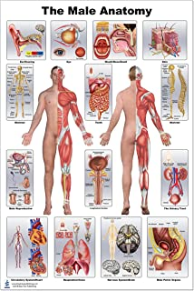 Male Anatomy Poster