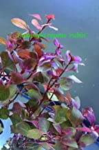 Exotic Live Aquatic Plant for Fresh Water Ludwigia repens 'rubin' Potted P292 By Jayco ** BUY 2 GET 1 FREE