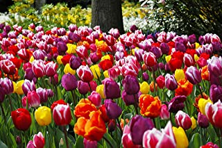 Extra Large Bulb Size - 50 Dutch Grown Tulip Bulbs - Mid-Spring Flowering - Fall Planting - Triumph Tulip - Mixed Colours