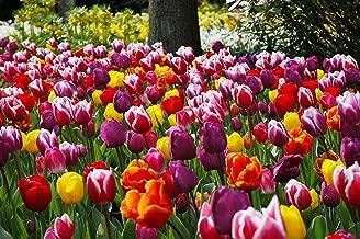 dutch tulip bulbs