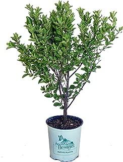 American Beauties Native Plants - Prunus maritima (Beach Plum) Shrub, , #2 - Size Container