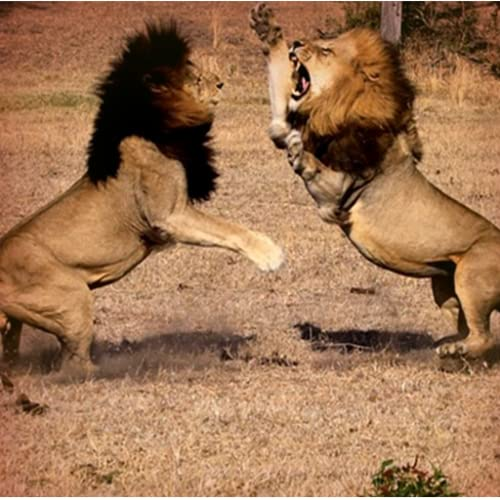 Pk African Lion Fight simulator