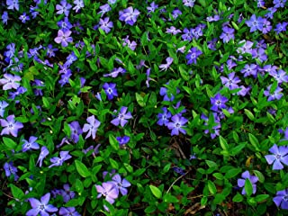 Best periwinkle ground cover Reviews