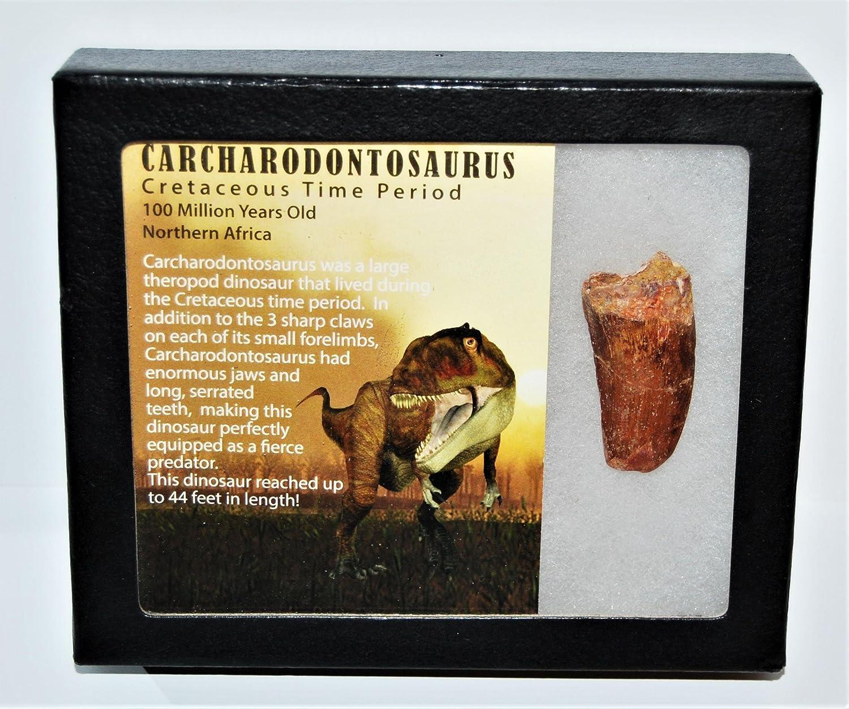 Carcharodontosaurus Dinosaur Tooth 1.830 Fossil African TRex COA LDB  13947 15o