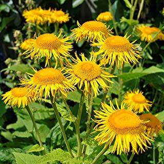 Elecampane Seeds (Inula helenium) 40+ Organic Heirloom Seeds in FROZEN SEED CAPSULES for The Gardener & Rare Seeds Collect...
