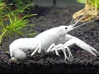 Aquatic Arts 1 Juvenile White Specter   Live Freshwater Aquarium Lobster/Crawfish/Crawdad/Real Living Fish Tank Pet