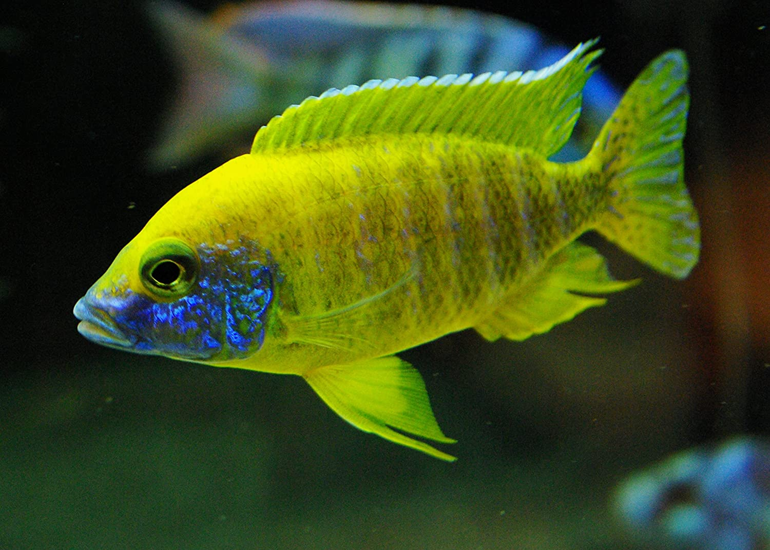 Live Freshwater Aquarium Fish  3  4  Lemon Jake Peacock  34  Sunshine Peacock  by WorldwideTropicals  Live Freshwater Fish  Live Tropical Fish  Great For Aquariums  Populate Your Fish Tank