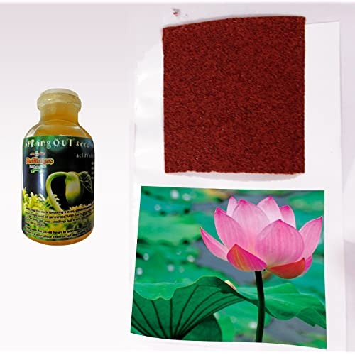 Lotus Plant Buy Lotus Plant Online At Best Prices In India Amazonin