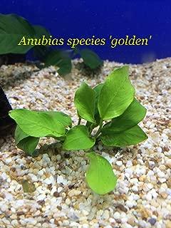 Anubias species 'Golden' - Loose Plant L168 - Buy 2 GET 1 FREE