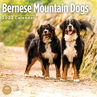 2022 Bernese Mountain Dogs Wall Calendar by Bright Day, 12 x 12 Inch, Cute Dog Puppy
