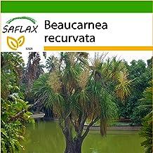 SAFLAX - Pata de elefante - 10 semillas - Con sustrato estéril para cultivo - Beaucarnea recurvata