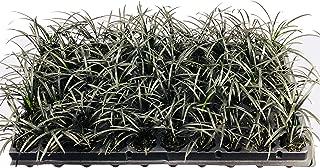 Black Mondo Grass Plugs - Ophiopogon Japonicus Nigrescens - 20 Live Plants - Excellent Shade Loving Ground Cover