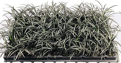 Black Mondo Grass Plugs - Ophiopogon Japonicus Nigrescens - 40 Live Plants - Excellent Shade Loving Ground Cover