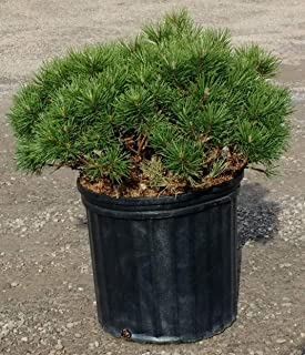 mugo pine size