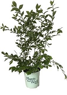 Plants That Work - in The Kitchen Jersey Highbush Blueberry - Vaccinium Jersey - 19cm