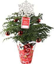 Costa Farms Live Christmas Tree, 18 to 20-Inches Tall, Decorated with Christmas Gift Wrap, Ornaments and Tree-Topper, Fres...