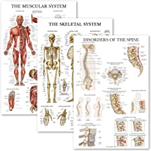 3 Pack: Muscular System + Skeletal System + Disorders of the Spine Anatomy Poster Set - Set of 2 Anatomical Charts - Lamin...