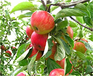Gala Apple Tree Semi-Dwarf - Healthy - Established - 1 Gallon Trade Pot - 1 Each by Growers Solution