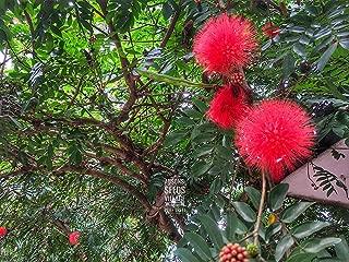 powder puff mimosa tree