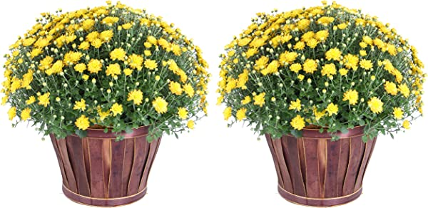 Costa Farms Chrysanthemum Flowering Mum Ships In Porch And Patio Ready Bushel Basket 3 QT Yellow
