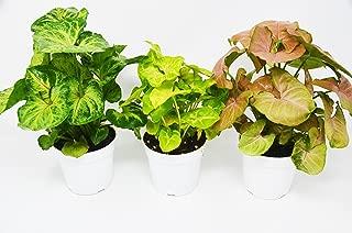 Best arrowhead vine plant Reviews