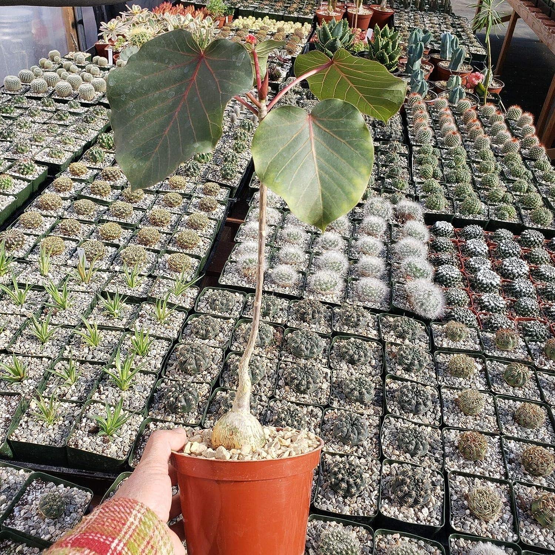 AchmadAnam Succulent Plant - Ficus Max 65% OFF Rock Fig Cac favorite petiolaris Large