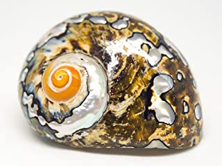 Hermit Crab Home Turbo Shell   1 African Sarmaticus Turbo Shell 3
