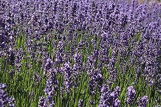 Findlavender - Lavender Angustifolia HIDCOTE Blue (Dark Purple Flowers) - 4