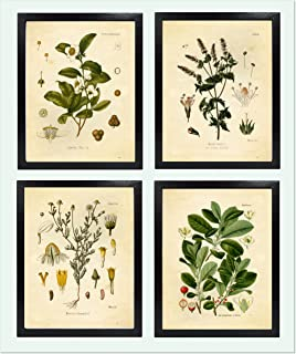 Ink Inc. Tea Herbalism Herbs Vintage Botanical Art Prints – Set of 4 – Tea, Mate, Chamomile, Mint – 8x10 Matte Unframed